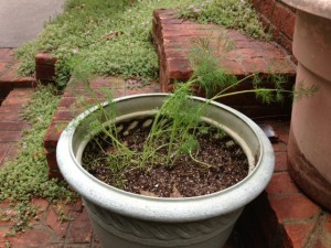 Granny's Dill, growing from seed she saved in the 1980s.