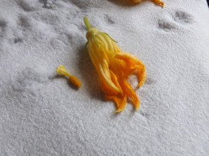 Remove the stamen from the squash blossom center before stuffing.
