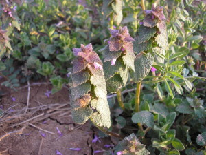 Henbit blooming in early spring