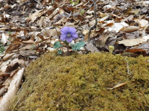 Wild violet blooms on a mossy rock
