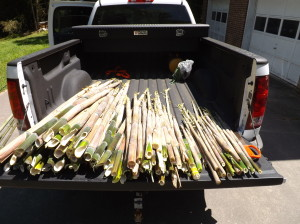 Bamboo fills the back of Karen's truck.  These shoots will yield thousands of tasty pickles.