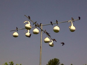 Purple Martins gather on the poles that hold their gourd homes for a chat.