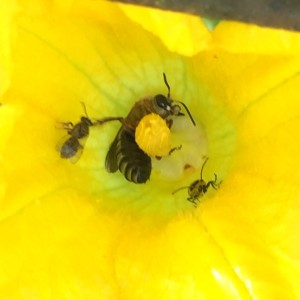 Without pollinators, squash will not form